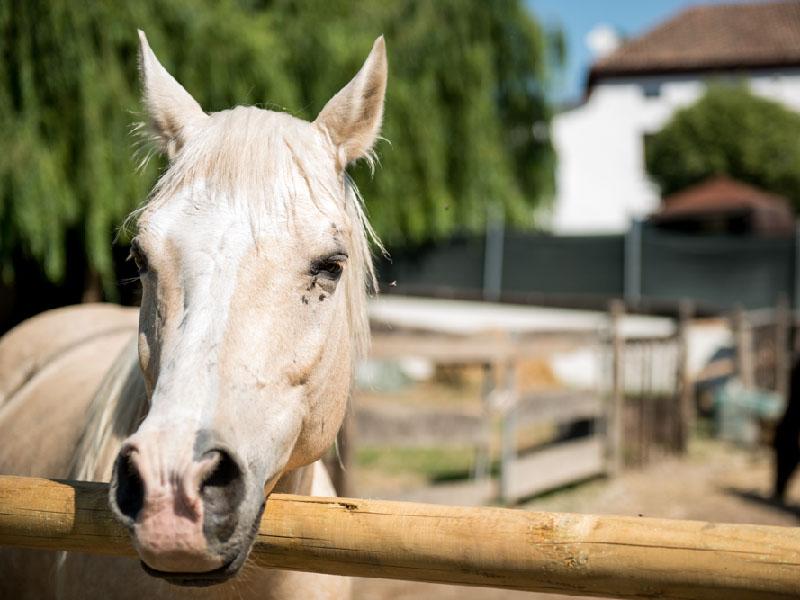 Cavalli al maneggio I Salici Ridenti in Nizza Monferrato